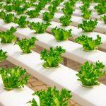 Idroponica - guida alla coltivazione indoor